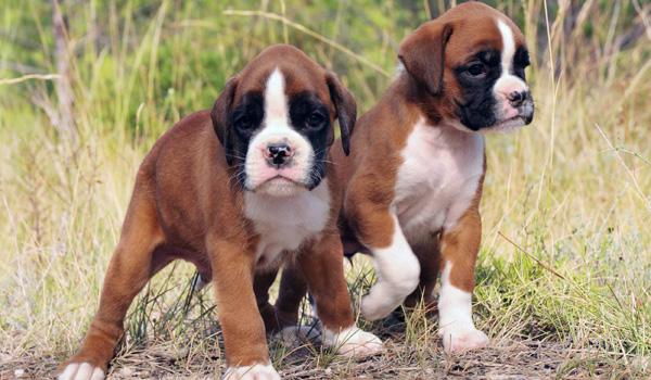 Beautiful Boxer Puppies Purebred Boxer Breeder Located In Brampton
