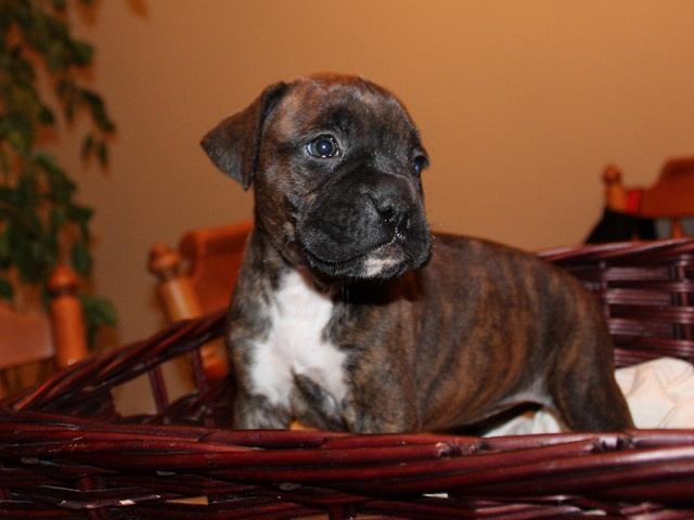 Female Boxer Puppy M3-01 | Beautiful Boxer Puppies